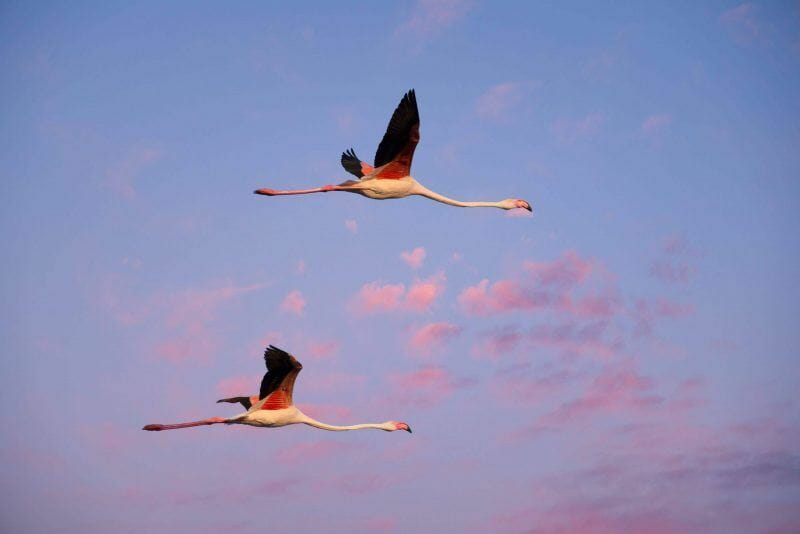 pink flamingoes cagliari