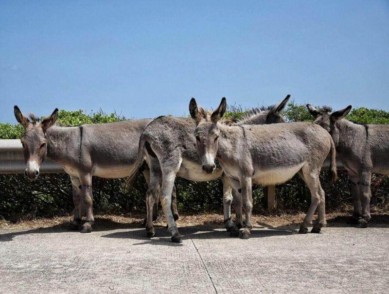 Asinara donkeys